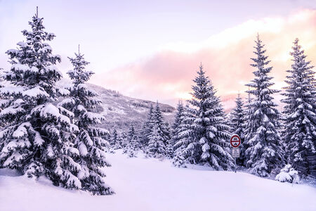 snow covered mountain: Beautiful winter forest landscape, majestic view on a pine trees covered with snow, pink sunset in mountains, wintertime beauty of nature