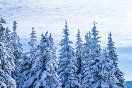 amazing stunning: Beautiful winter landscape, high magnificent fir trees covered with fresh white snow, travel to Alpine mountains, beauty of wintertime nature