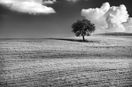 arboles blanco y negro: Foto blanco y negro de un �rbol solitario en la colina, cielo nublado hermoso, maravilloso paisaje natural, la concepci�n de la soledad, Toscana, Italia
