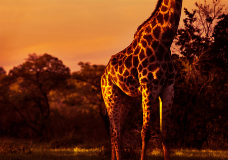 animal body part: Gorgeous tall giraffe in bright orange sunset light, body part of animal with beautiful skin, beauty of african nature, exotic travel to South Africa