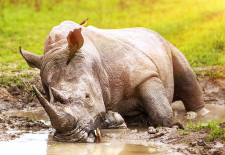 safari game drive: South African wild rhino bathing in the mud, big dangerous horned animal, big five member, safari game drive, exotic tourism expedition