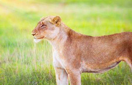 big five: South African leonessa selvaggia, ritratto della bella animale fresco campo di erba verde, grande cinque, game drive, la bellezza di fauna selvatica Archivio Fotografico