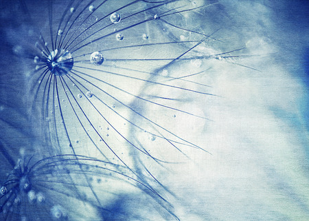 luz natural: Hermoso fondo azul diente de le�n, macro foto de flor taraxacum seco con gotas de roc�o, la belleza de la naturaleza detalle, suave papel tapiz floral
