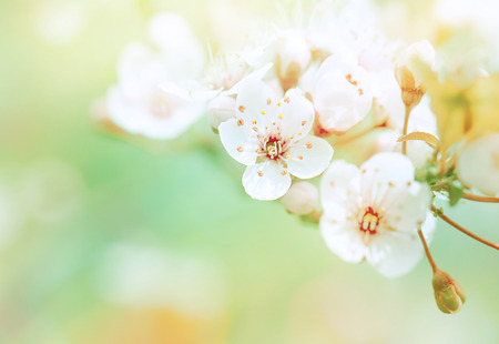 spring time: Beautiful spring blooming, gentle white fresh cherry tree flowers border on green soft focus background, spring time concept Stock Photo