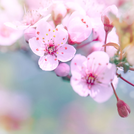 Beautiful cherry blossom border over blur background, gentle dreamy white flowers on tree branches, spring time season Stock Photo