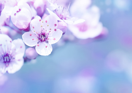 apple blossom: Beautiful cherry blossom border over blur background, gentle dreamy white flowers on tree branches, spring time season Stock Photo
