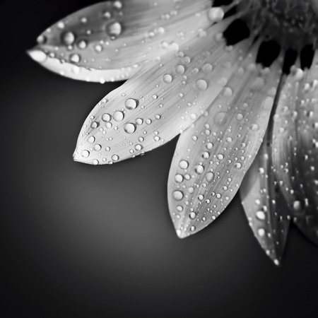 Beautiful floral border, black and white photo of gentle chamomile flower with dew drops on the petals over dark background photo