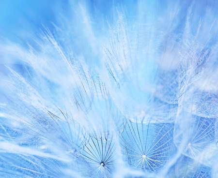 Resumen de antecedentes de la flor, foto macro de un diente de león azul suave telón de fondo, la belleza de la naturaleza, la temporada primavera Foto de archivo - 38609253