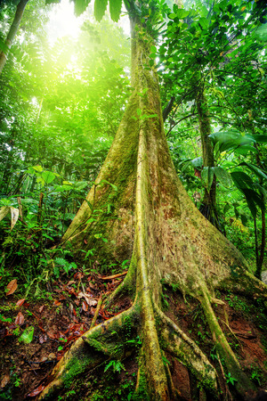 rica: Amazing giant tree in rainforest, bright sunlight through fresh green foliage, beautiful nature of national park in Costa Rica, Central America