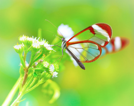 Beautiful butterfly sitting on fresh wild flower in the forest, Glasswinged butterfly, Greta oto, gorgeous insect from Costa Rica, Central America Foto de archivo