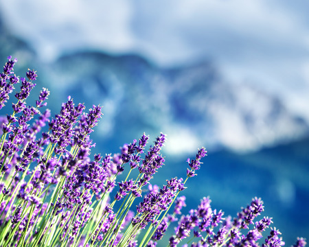 fragrant scents: Lavender fields beneath French Alps, natural border of a beautiful little purple flowers, beauty of gorgeous nature of France Stock Photo