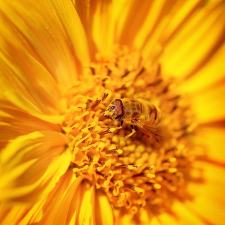 calceolaria: Beautiful little bee on a bright yellow gerbera flower, cute insect collects pollen from flower to honey, beauty of wild nature Stock Photo