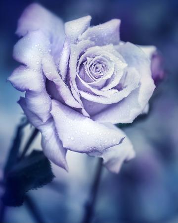 luz de luna: La vendimia se levantó en la noche, bella flor suave con las gotas de agua bajo la luz de la luna, jardín de fantasía soñadora Foto de archivo