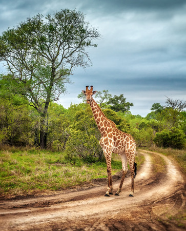 South African wildlife, wild giraffe on a walk, beautiful great animal, big five, bush safari game drive, Kruger National Park Reserve, travel South Africa Stock Photo