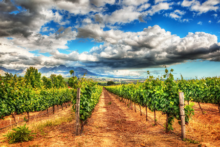 green landscape: Grape fields landscape, winery garden with blue sky, beautiful agricultural scene on harvest season, grapes valley at fall, vineyard industry of South Africa