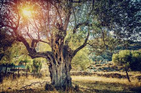 tree farming: Big beautiful olive tree with bright sun beams, countryside landscape of olives cultivation, olive oil industry, autumn harvest season, agriculture and farming