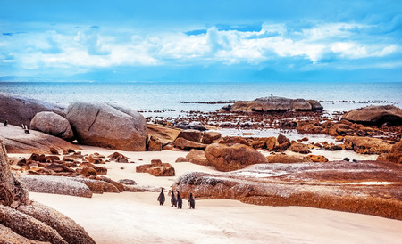 penguin colony: Wild South African penguins, colony of Black-footed Penguins walking on Boulders beach in Simons Town, safari travel, South Africa