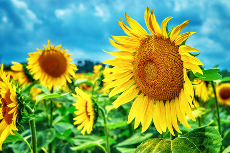 yellow: Beautiful sunflowers field, great yellow flowers over blue sky background, autumn harvest season, beauty of nature of Tuscany, Italy, Europe Stock Photo