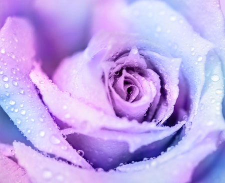 Сold winter rose, purple abstract floral background, gentle flower with dew drops on the petals, romantic greeting card