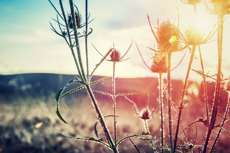 Thistle on sunset, thorny weed growing on wild field, beauty of wild nature, amazing landscape, autumn season Stockfoto