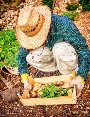 autumn garden: Farmer working in the garden, man holding in hands wooden box with potato, agricultural work, autumn harvest season