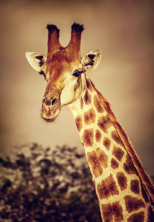 game drive: Portrait of cute tall giraffe on sunset, big five, game drive, beautiful wild mammal animal of South Africa Stock Photo