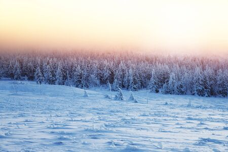 covered in snow: Beautiful landscape of sunset in winter forest, majestic view on a fir trees covered with snow, misty pink sky light over high mountains, wintertime beauty in nature of Czech Republic, Central Europe