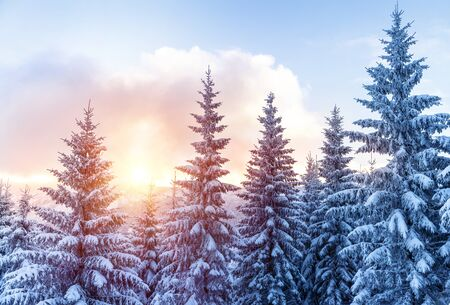 mild: Beautiful landscape of forest in wintertime, majestic high pine trees covered with snow in mild sunset light, beauty of winter nature