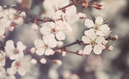 Beautiful vintage floral background, gentle little white flowers of apple tree, amazing view on spring blooming, fine art