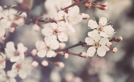 cerezos en flor: Fondo hermoso de la vendimia de flores, pequeñas flores blancas suaves de manzano, vista magnífica de floración de primavera, bella arte