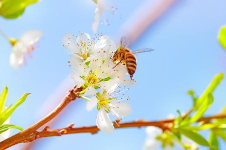 albero da frutto: Carino ape impollinazione giovane e bella fiori freschi di Melo, ape raccoglie il polline da alberi da frutto, bella natura del tempo di primavera