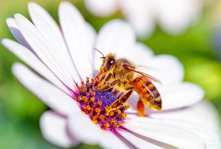 Macro foto van mooi bij de vergadering op wit zachte madeliefje, kleine honingbij verzamelt stuifmeel van bloemen, ontwaken van de natuur van de winter