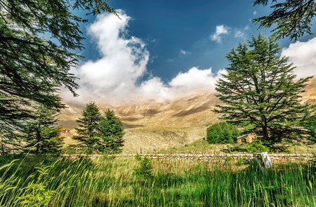 a cedar: Cedros del Líbano, hermoso bosque antiguo árbol de cedro en la montaña, la naturaleza increíble libanés, paisaje tranquilo de un Parque de la Reserva Nacional, pueblo Bsharre, Norte del Líbano Foto de archivo