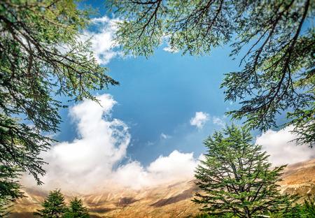 a cedar: Cedros del Líbano, bosque de cedro antigua hermosa en las montañas sobre el fondo del cielo azul, impresionante naturaleza del Líbano, paisaje tranquilo de un parque de la Reserva Nacional, Norte del Líbano