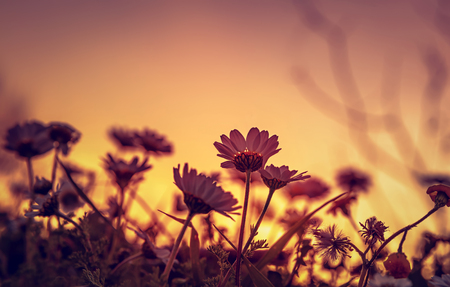 Beautiful daisy field on sunset light, silhouette of little gentle white flowers on orange evening sky background, beauty of wild nature Stock Photo