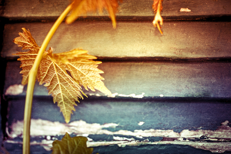 texture backgrounds: Grapevine creeping on the old vintage windows shutters, fresh grape leaves over wooden background, abstract natural border