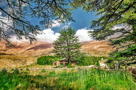 cedars: Cedars of Lebanon, beautiful ancient cedar tree forest in the mountains, amazing Lebanese nature, peaceful landscape of a National Park Reserve, Bsharre village, North of Lebanon