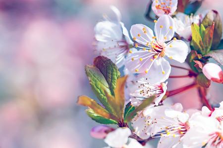 Hermosa Florecimiento de árboles frutales, flores frontera suave sobre fondo borroso de color rosa, copia espacio, por primera vez la primavera flor de cerezo