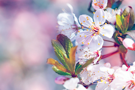flor de cerezo: Hermosa Florecimiento de árboles frutales, flores frontera suave sobre fondo borroso de color rosa, copia espacio, por primera vez la primavera flor de cerezo