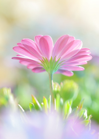Closeup photo of a beautiful pink daisy flower, romantic floral field, soft focus natural background, beauty of spring nature Archivio Fotografico