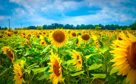Bellissimo campo di girasole, molti grandi fiori gialli, paesaggio agricolo, stagione autunnale, bella natura del Nord Italia, Europa