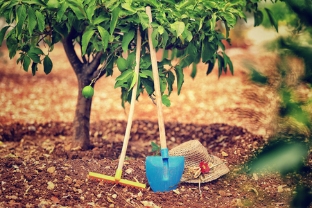 Work in the garden, necessary tools for work in the soil, rake, shovel and hat under lemon tree, fruits cultivation, productionof a  healthy organic nutrition