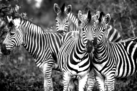game drive: Black and white photo of a wild zebras family, beautiful animals of African continent, Kruger national park, safari game drive, South Africa Stock Photo