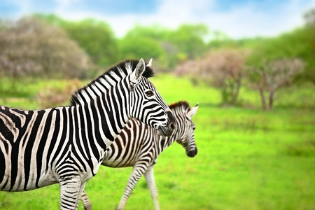 safari game drive: Zebras of Africa, wild animal portrait, safari game drive, Eco travel and tourism, Kruger national park, Sabi Sand reserve, South Africa