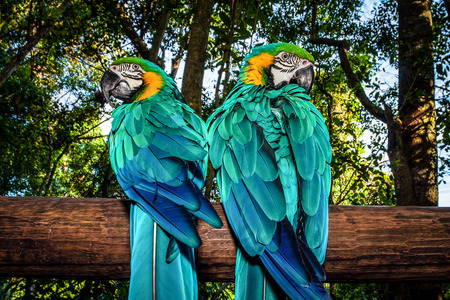 Photo of a South African beautiful bird, two big colorful macaw parrot in the forest sitting on the tree and looking to different sides, parakeet with blue wings, wild animals, Ara portrait, wildlife