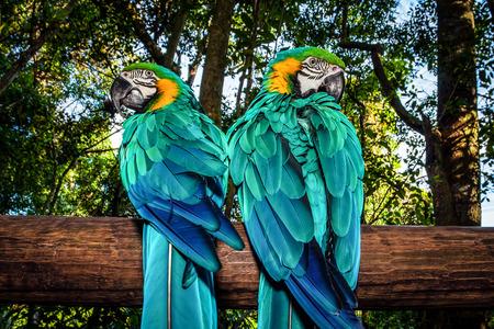 Foto van een Zuid-Afrikaanse mooie vogel, twee grote kleurrijke ara papegaai in het bos zitten op de boom en op zoek naar verschillende kanten, parkiet met blauwe vleugels, wilde dieren, Ara portret, het wild