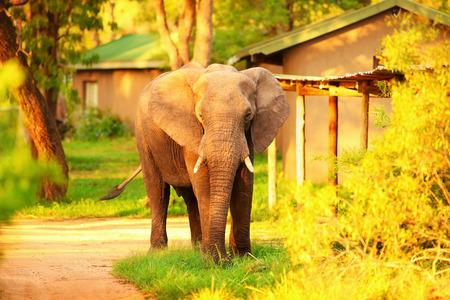safari game drive: Beautiful big wild elephant, animal in mild yellow sunset light, safari game drive, Eco travel and tourism, Kruger national park, South Africa