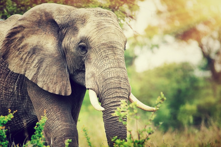 Portrait of a big beautiful elephant outdoors, wild animal