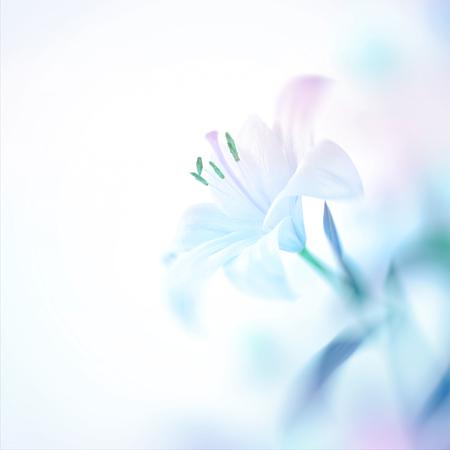 Closeup photo d'une belle fleur de lys blanc doux, joli fond floral avec espace de copie, invitation élégante pour un jour de mariage