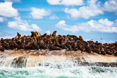 Wilde zeehondenkolonie op het steenachtige eiland, grote zeedieren, prachtig landschap van de Atlantische Oceaan, extreem safaritoerisme, Hout Bay Seal Island, schoonheid van Zuid-Afrika